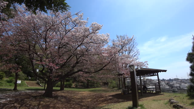 cherry blossom and japanese pavilion in public park at yurigaoka, tokyo japan - kanto region stock videos and b-roll footage
