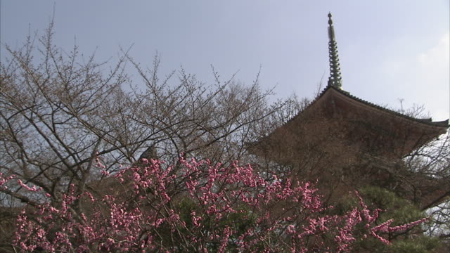 ms cherry blossom and kiyomizu-dera temple in background, kyoto, japan - kyoto temple stock videos and b-roll footage