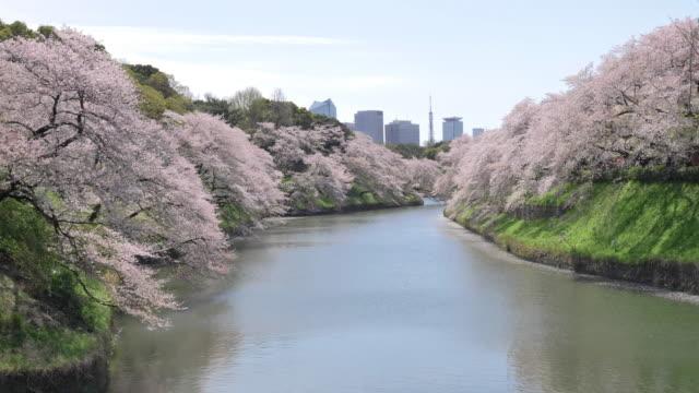 vídeos de stock e filmes b-roll de cs ws slo mo cherry blossom and moat in chidorigafuchi park, tokyo, japan - vala