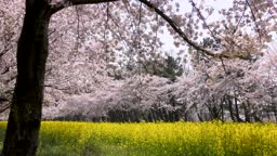 Cherry blossom and rape field