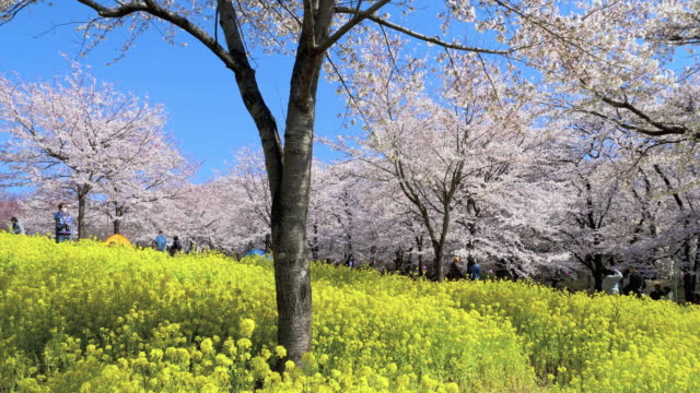 ws cs slo mo cherry blossom and rapeseed, maebashi, gunma prefecture, japan - crane shot stock videos & royalty-free footage