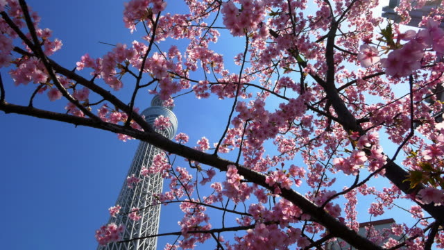 cherry blossom and tokyo sky tree moving slider shot - aufnahme von unten stock-videos und b-roll-filmmaterial