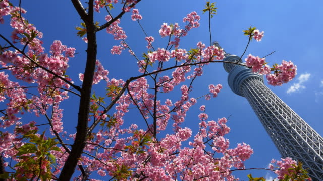 vidéos et rushes de cherry blossom and tokyo sky tree moving slider shot - arbre en fleurs