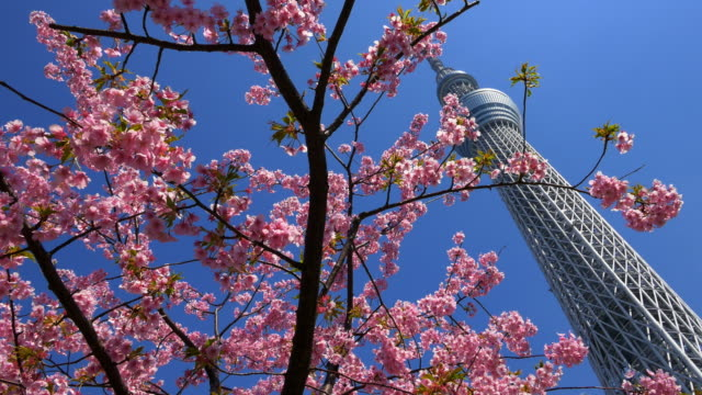 cherry blossom and tokyo sky tree moving slider shot - low angle view stock-videos und b-roll-filmmaterial