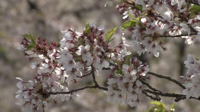 cherry blossom, aomori, japan - aomori prefecture stock videos & royalty-free footage