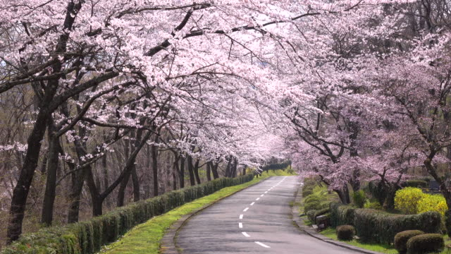 cherry blossom  arch -4K-