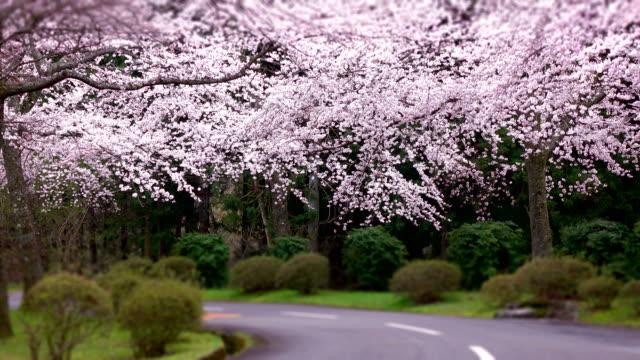 Kirsche Blumen blühen Bogen - 4 k