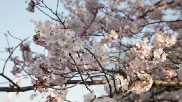 cherry blossom at chidorigafuchi in tokyo - zweig stock-videos und b-roll-filmmaterial