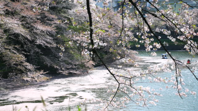 Cherry Blossom at Grand Canal ,Japan