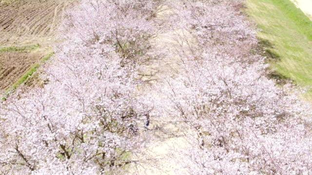 Cherry blossom at Hahoemaeul(Historic Village)