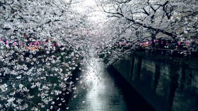 vídeos y material grabado en eventos de stock de flor de cerezo en el canal de meguro en tokio - formal garden