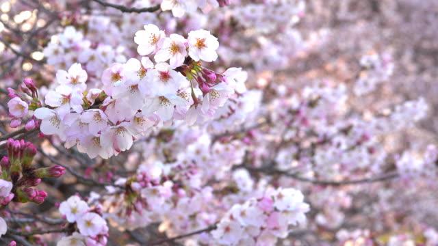 Cherry Blossom på morgonen