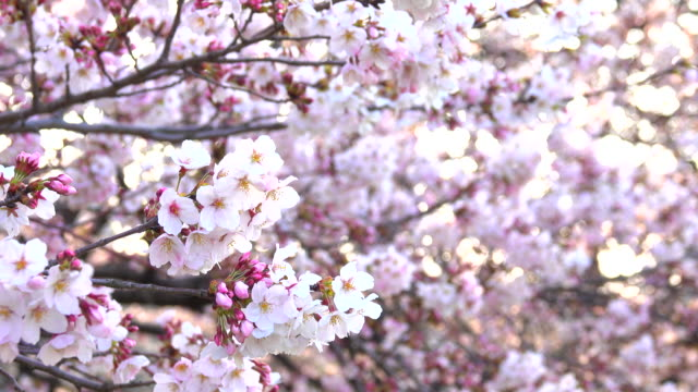 Cherry Blossom at morning