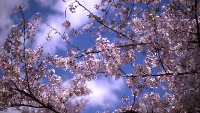 Cherry Blossom At Ueno Park, Tokyo, Japan