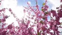 Cherry blossom Beautiful nature scene with blooming sakura tree
