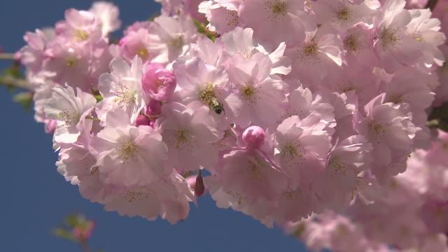 cherry blossom + bee