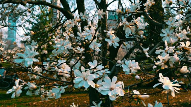 vídeos y material grabado en eventos de stock de flor de cerezo floreciendo de cerca. floración. colores. flores. naturaleza. central park. - the nature conservancy