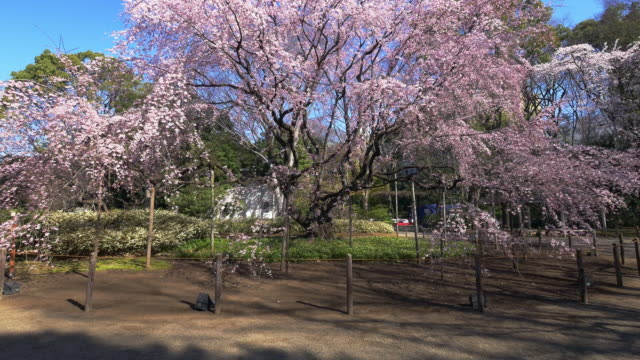 cherry blossom blooming from rikugiengardens - oriental garden stock videos and b-roll footage