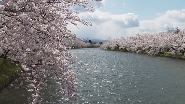 cherry blossom blooms in hirosaki park, deserted during coronavirus pandemic - moat stock videos & royalty-free footage