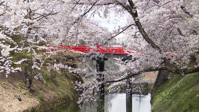 cherry blossom blooms in hirosaki park, deserted during coronavirus pandemic - aomori prefecture stock videos & royalty-free footage