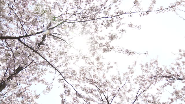 cherry blossom blooms in hirosaki park, deserted during coronavirus pandemic - april stock videos & royalty-free footage