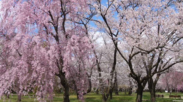 cherry blossom blooms in hirosaki park, deserted during coronavirus pandemic - blossom stock videos & royalty-free footage