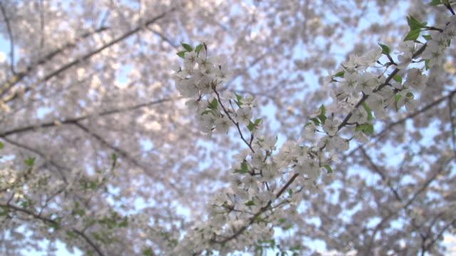 桜のブランチ  - 政治行動委員会点の映像素材/bロール