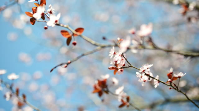 cherry blossom close up - great white cherry stock videos & royalty-free footage