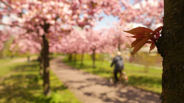 Cherry blossom detail shot in sunny spring time with a defocused biker in berlin city