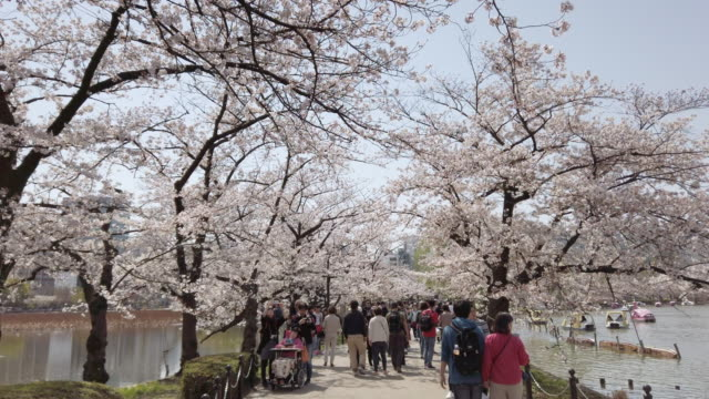 cherry blossom falling in ueno park tokyo , japan - cherry blossom stock videos & royalty-free footage