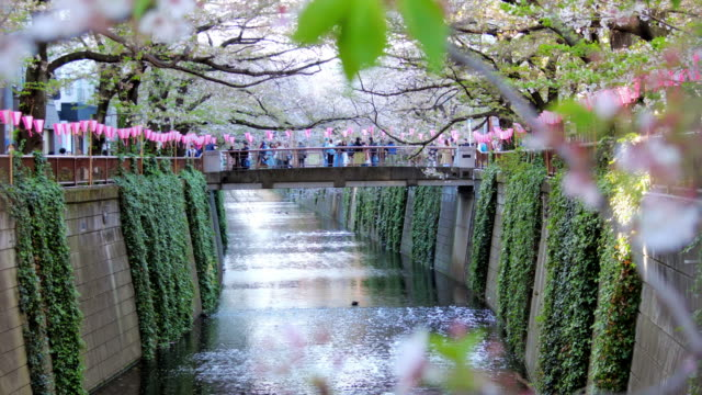 cherry blossom falling of sakura at meguro river tokyo japan , slow motion - petal stock videos and b-roll footage