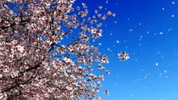 Cherry blossom falling petals slow motion