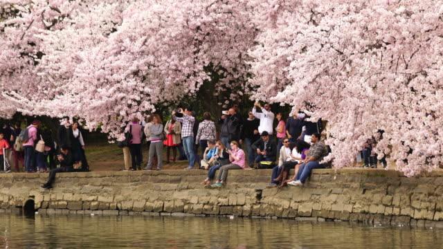 vídeos de stock e filmes b-roll de cereja flor festival washington, dcregion/state in usa - flor de cerejeira