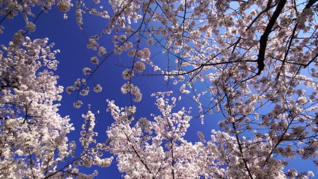 桜の花のフェスティバル、ワシントン dc - 記念碑点の映像素材/bロール