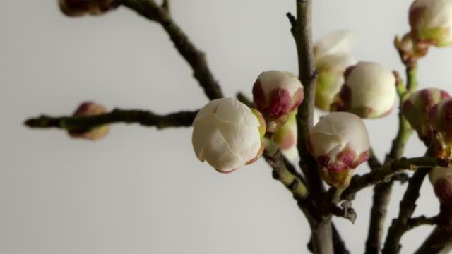 Kirschblüte Blütenknospe
