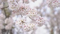 Cherry Blossom flower in spring season at Tokyo