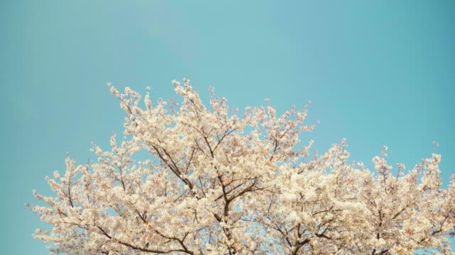 cherry blossom flowers / gurye-gun, jeollanam-do, south korea - jeollanam do stock videos & royalty-free footage