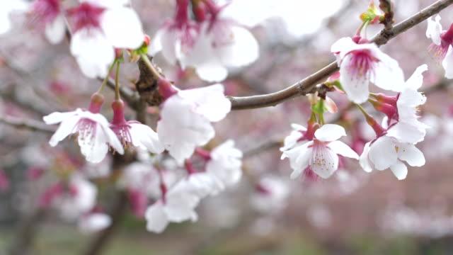 vídeos de stock e filmes b-roll de cherry blossom flowers ,japan - prunus taihaku