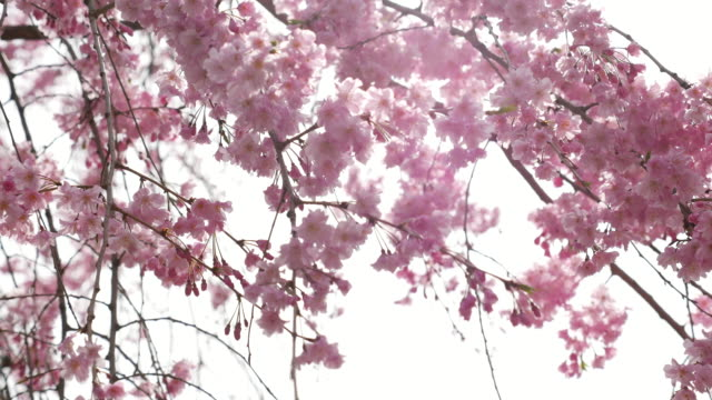 ds:cherry blossom flowers ,japan - great white cherry stock videos & royalty-free footage