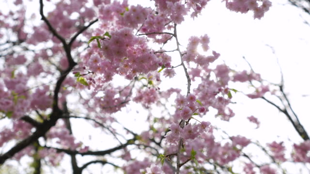 cherry blossom flowers ,japan - great white cherry stock videos & royalty-free footage