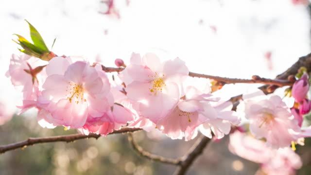 vídeos de stock, filmes e b-roll de flores de cerejeira em um belo dia de sol - brightly lit