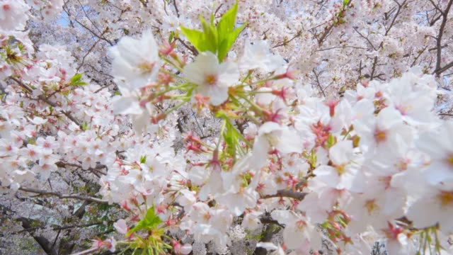 cherry blossom flowers on a clear sky background - great white cherry stock videos & royalty-free footage