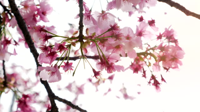 kirschblütenblütenblüten - tokyo japan stock-videos und b-roll-filmmaterial