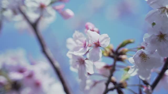cherry blossom / fukuoka, kyushu, japan - branch stock videos & royalty-free footage