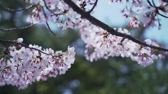 cherry blossom / fukuoka, kyushu, japan - fukuoka prefecture stock videos & royalty-free footage