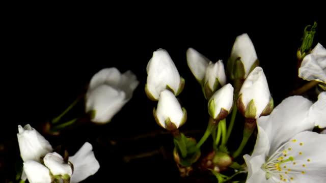 cherry blossom Wachstum