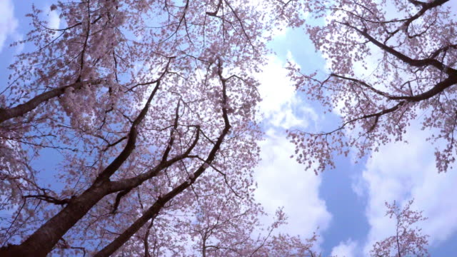 cherry blossom in full bloom -4k- - plusphoto stock videos & royalty-free footage