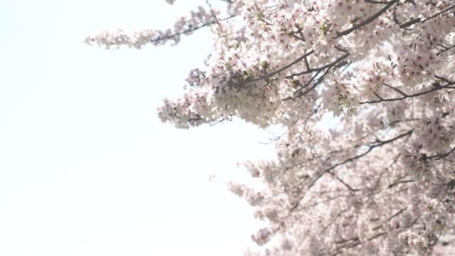 桜が満開です - 太白桜点の映像素材/bロール