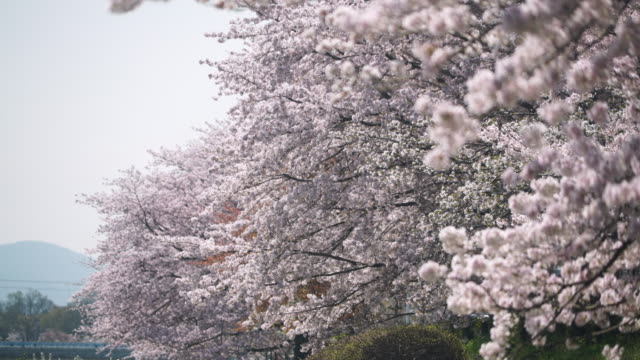 cherry blossom in full bloom - great white cherry stock videos & royalty-free footage