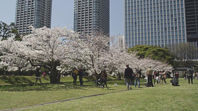 cherry blossom in hamarikyu park - kanto region stock videos and b-roll footage